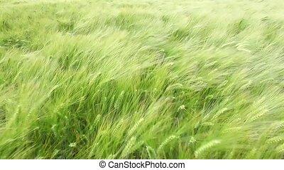 blé, vent, danse