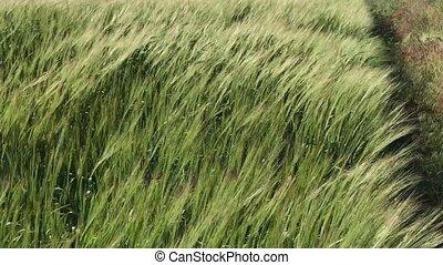 blé vert, champ