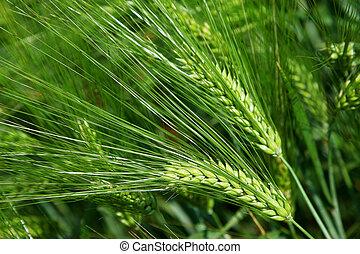 blé vert, fin