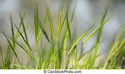 blé vert, oreilles