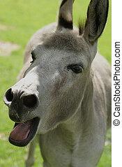 blöken, donkey.