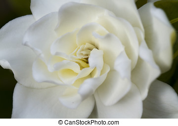 blød, gardenia
