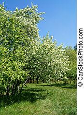 blühen, äpfel, in, fruehjahr