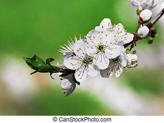 blühen, blumen, zweig