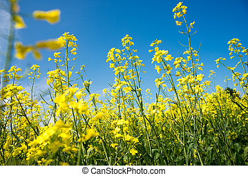 blühen, gelber , rapeseed, feld, unter, blauer himmel, in, collingwood, ontario