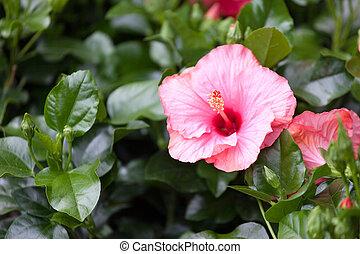 hibiskus busch hibiskus sommer busch hintergrund wachsen blumen. Black Bedroom Furniture Sets. Home Design Ideas