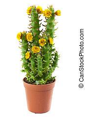 blühen, kaktus, freigestellt, weiß, hintergrund.