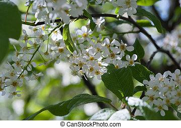 blühen, kirschbaum, in, fruehjahr