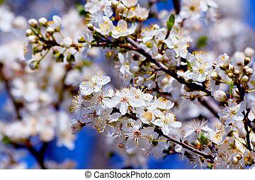 blühen, kirschen, pflaumenbaum, in, fruehjahr