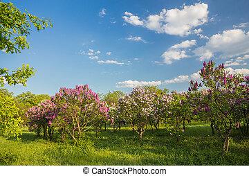 blühen, lila busch