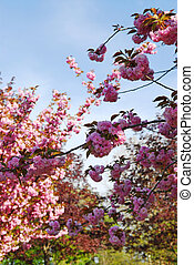 blühen, obstgarten