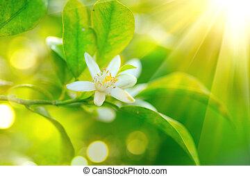 blühen, orange, oder, zitrone, baum., gesunde, organische , zitrone, oder, orange, wachsen, in, sonnig, obstgarten