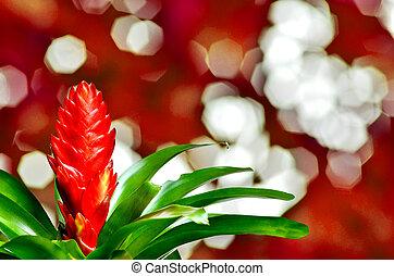 blühen, pflanze, von, guzmania