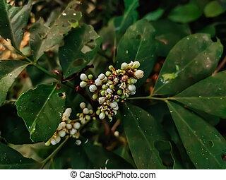blühen, südosten, pflanze, clauseneae., dieser, gattung, ...