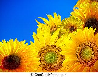 blühen, von, sonnenblumenfeld, mit, blauer himmel