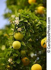 blühen, zitrusgewächs, baum, mit, früchte, und, blumen