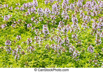 blüte, blumen, kleingarten, thymian, lila
