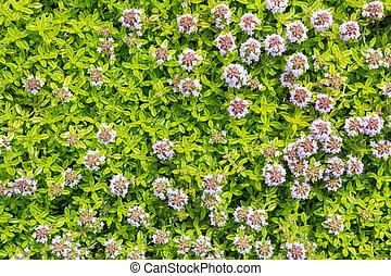 blüte, groundcover, rosa blüten, kleingarten, thymian