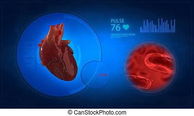 bl, hart, medisch, display, menselijk