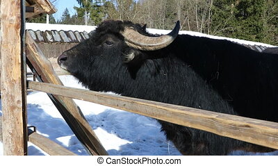 African Buffalo behind the fence on the farm - Black African...