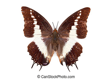 Black an white butterfly Charaxes brutus isolated on white background
