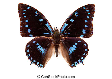 Black and blue butterfly Charaxes amelia isolated