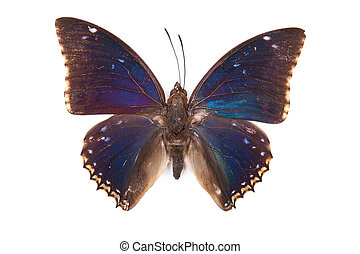 Black and blue butterfly Charaxes bipunctatus isolated on white background