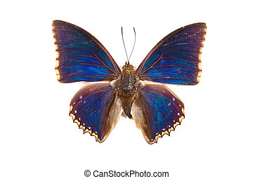 Black and blue butterfly Charaxes castor isolated