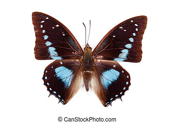 Black and blue butterfly Charaxes imperialis isolated on white background