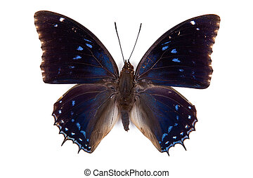 Black and blue butterfly Charaxes mixtus isolated