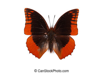 Black and blue butterfly Charaxes protoclea azota isolated