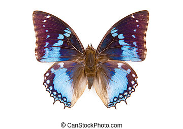 Black and blue butterfly Charaxes smaragdalis isolated