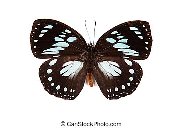Black and blue butterfly Euxanthe wakefieldi isolated