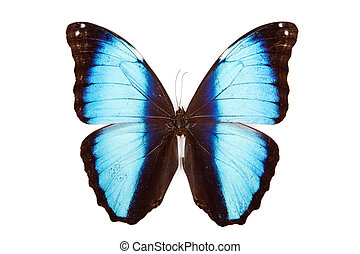 Black and blue butterfly Morpho deidamia isolated on white background