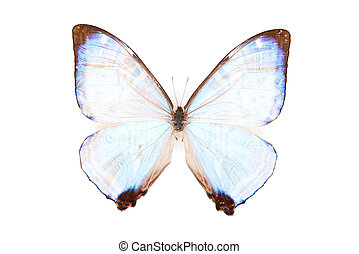 Black and blue butterfly Morpho sulkowsky isolated on white background