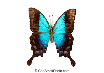 Black and blue butterfly Papilio pericles isolated on white background