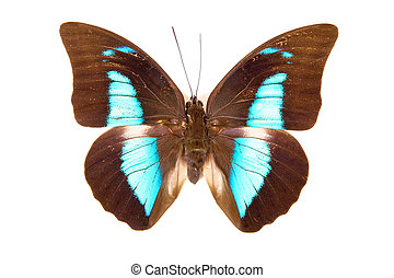 Black and blue butterfly Prepona demophon isolated