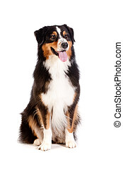 A cheerful black and brown australian shepard sits obediently against a white background