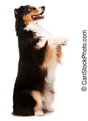 Black and Brown Australian Shepard - An adorable black and...