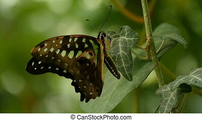Black and brown butterfly sits in profile on a twig on a...