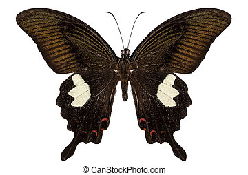 Black and brown butterfly species Papilio nephelus isolated...