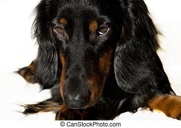 Black and brown dachshund