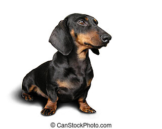 Black and brown dog (dachshund) on white background