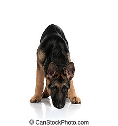black and brown german shepard sniffing while standing