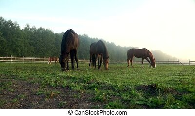Black and brown horses grazing on green field. Horse eating grass