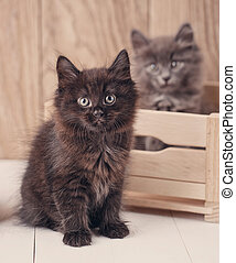 Black and gray Kurilian Bobtail cat portrait.