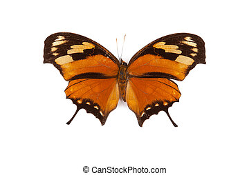 Black and orange butterfly Anaea fabius isolated
