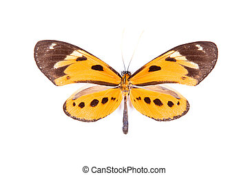 Black and orange butterfly Athyrtis mechanitis isolated