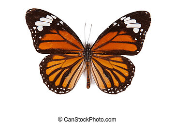 Black and orange butterfly Danaus genutia isolated