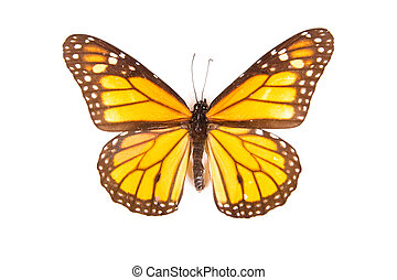 Black and orange butterfly Danaus plexippus isolated